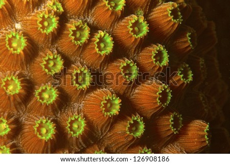Finger coral - stock photo