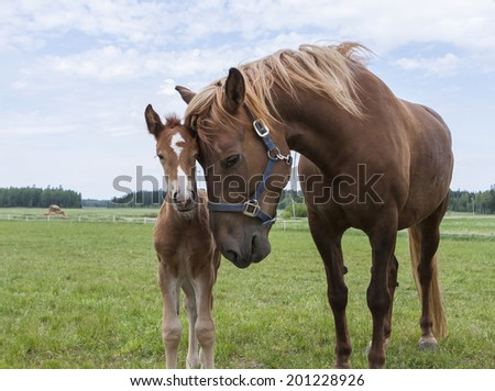 Finn horse mare taking care of its foal - stock photo