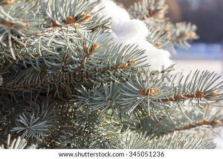 Fir and snow