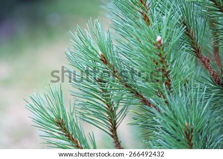 Fir branch close up - stock photo