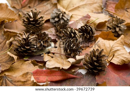 Fir cone on leave