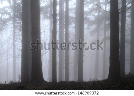 fir forest in autumn with fog - stock photo