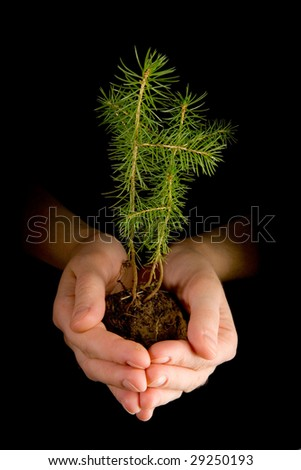 Fir seedling in hands on black ground - stock photo