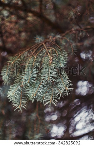 Fir-tree branch blurred nature background with bokeh. Shallow focus