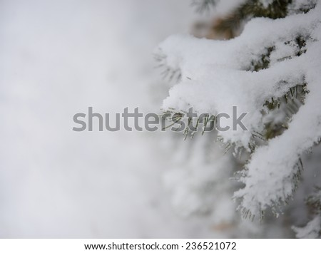 Fir-tree Branch Covered with Snow. Christmas Background with Fir-tree and Real Snow