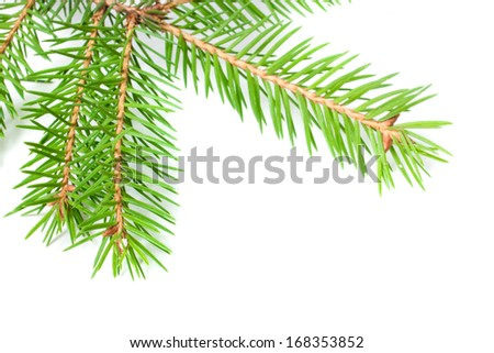 fir tree branch - isolated on white