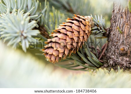 Fir tree branch with needles and cones on natural background