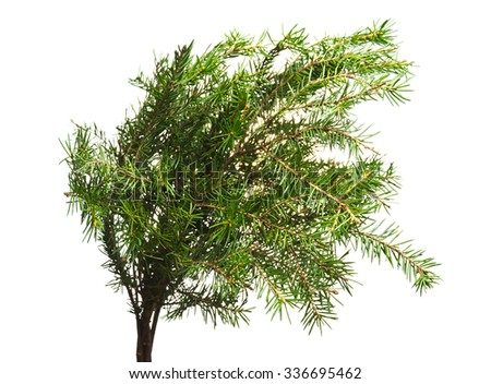 Fir-tree branches isolated on white background.