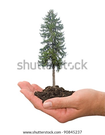 fir tree in hands