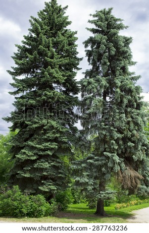 fir tree on the white background - stock photo