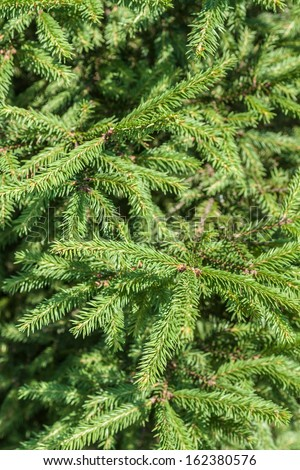 fir-tree's branches forming a background