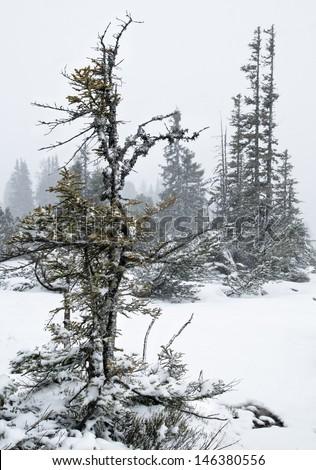 Fir tree under snow in Austrian Alps - stock photo