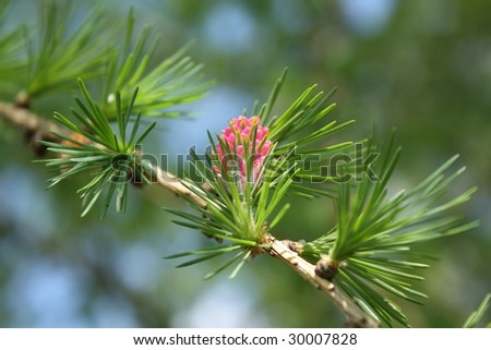 Fir-tree young cone