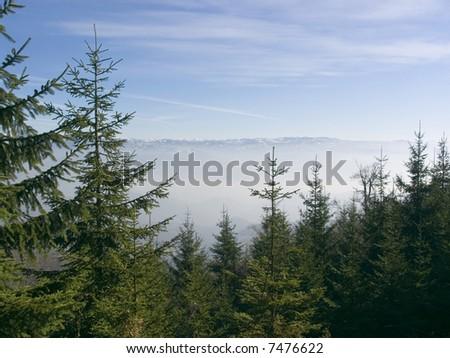 Fir trees - stock photo
