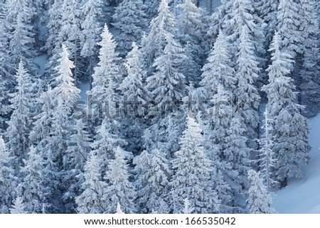 Fir trees forest full of snow in a superb winter mountain landscape - stock photo