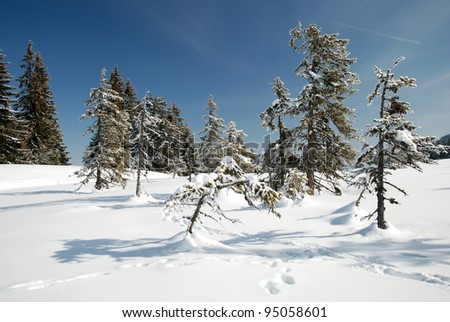 fir trees in the alps in winter time - stock photo