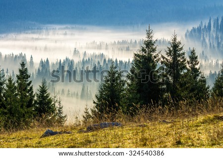 fir trees on a meadow down the will  to coniferous forest in foggy mountains of Romania - stock photo