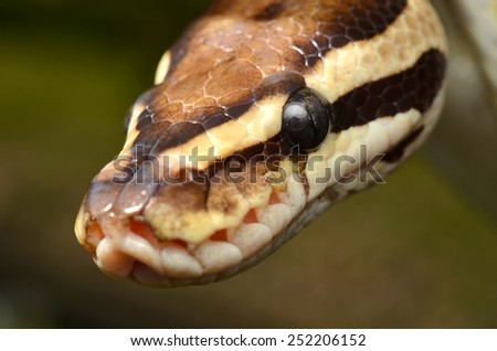 Fire Ball Python Snake close up eye and detail scales - stock photo