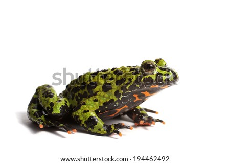 Fire bellied toad on white background - stock photo