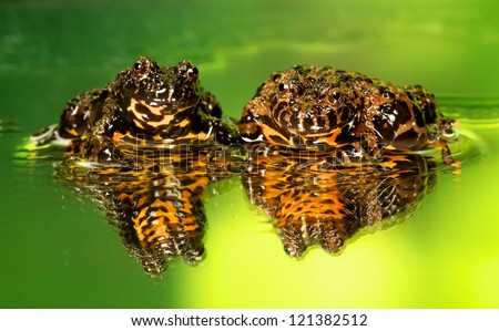 Fire-belly toads - stock photo