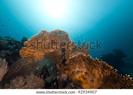 Fire coral in the Red Sea - stock photo