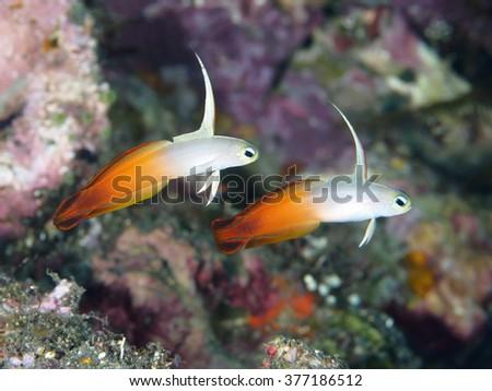 Fire dart fish in Bali sea (Indonesia) - stock photo