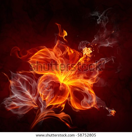 Fire hibiscus flower - stock photo