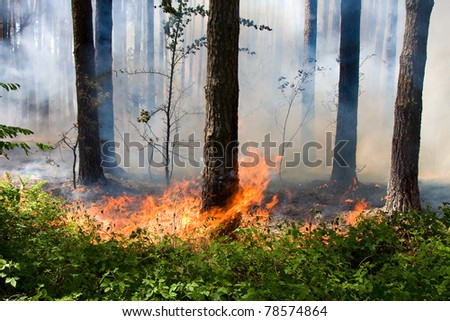 Fire in the summer pine forest with smoke