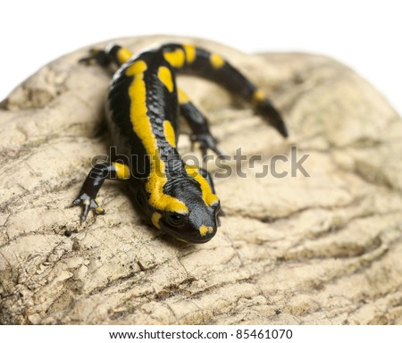 Fire salamander on rock, Salamandra salamandra, in front of white background - stock photo