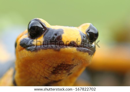 Fire salamander (Salamandra salamandra) head - stock photo