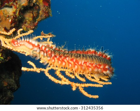 Fire Worm Hermodice carunculata on a coral in natural habitat off the coast of Croatia, Adriatic sea, Mediterranean with spikes extended - stock photo