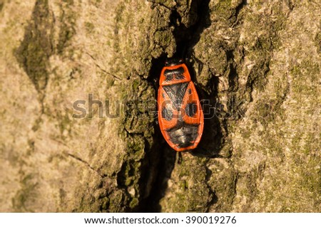 Firebug red insect on tree trunk bark,close up - stock photo