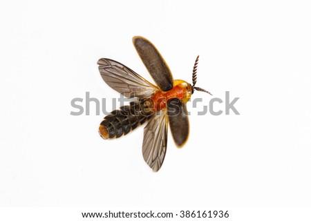 Firefly  (Pyrocoelia praetexta) on white background - stock photo