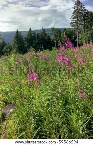 Fireweed, Black Forest, Germany