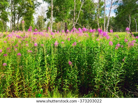 Fireweed blooming in a forest glade among the birches.