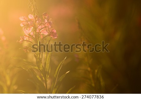 fireweed flowers in backlight - stock photo