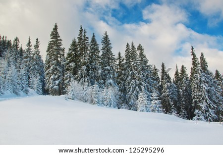 firs against sky in winter
