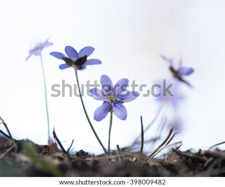 first anemone hepatica of the season on sunny day - stock photo