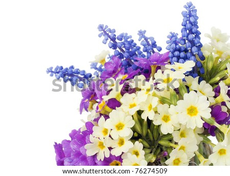"First blue Springs flowers "" Muscari"" and Cream and violet primroses postcard. Isolated on white selective focus"