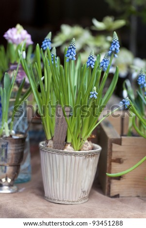 First Blue Springs flowers (Muscari) in a pot - stock photo