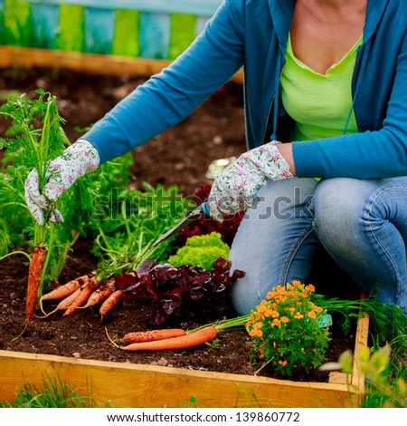 First crop of organically grown carrots - stock photo