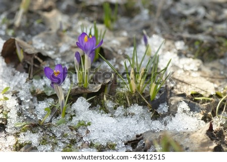 First flowers in snow - stock photo