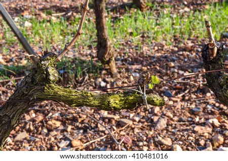 First leaflets on a grapevine. Spring vineyard, Catalonia, Spain.
