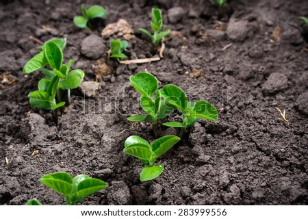 First leaves of soybean growing from the ground  - stock photo