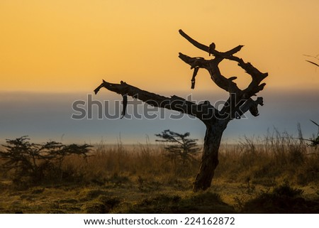 first light hitting dead tree in Nairobi National Park - stock photo