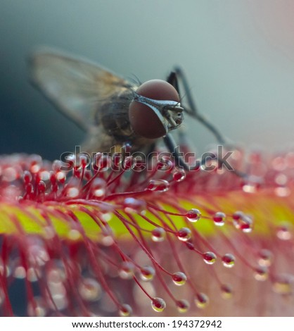 first picture - catch of the fly with dew tentacles - stock photo