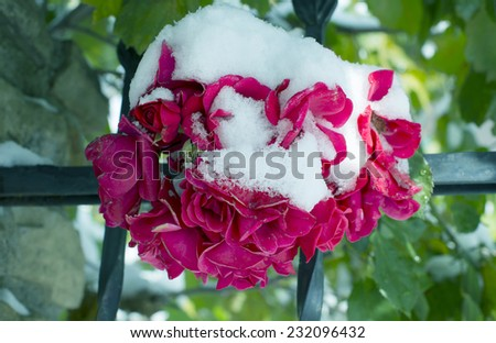 First snow covered the flowers - stock photo