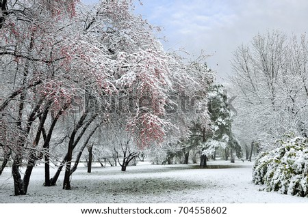 First snowfall in the city park. Snow-covered branch of wild apple tree with red fruits at foreground, green fir tree and foliage of bush under the fluffy fresh snow