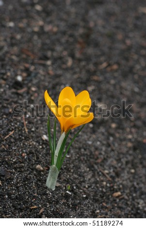 First spring flower on the soil (Crocus - Crocus longiflorus) - stock photo