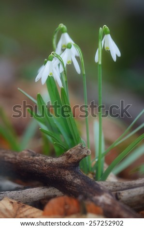 First spring flowers. Glade with white snowdrops in the forest - stock photo